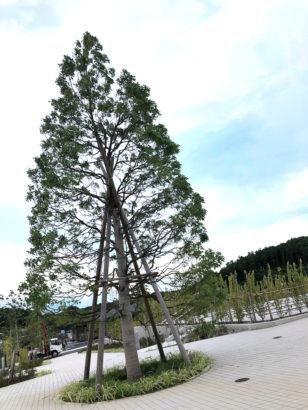 川井聖苑_シンボルツリーのクスノキ